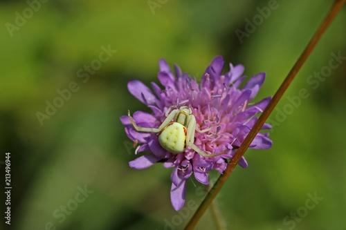 Plakat Zmienny krab pająk (Misumena vatia) czai się ofiarą na scabiosa columbaria (Scabiosa columbaria)