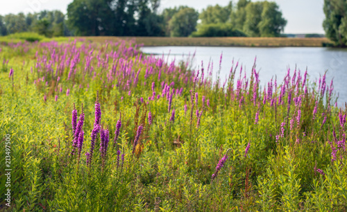 Fototapeta Purple Loosestrife plants flowering in the foreground of a colorful landscape
