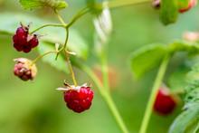 Wild Raspberry Berry