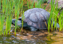 Large Turtle With A Powerful Shell Standing In A Shallow Pond Near The Shore Among Green Plants