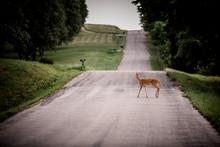 Deer Crossing A Road In A Rural Area.