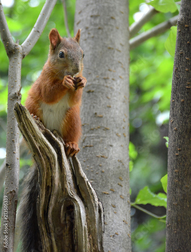 Fotobehang Eekhoorn Squirrel in the Park of Friendship in Moscow