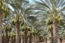 Date Palm Trees Planted In Row...