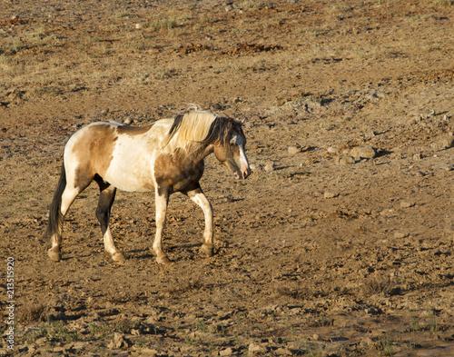Photo  Wild Pinto Stallion Heading for Water