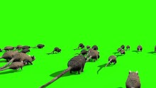 Invasion Of Rats Mice Sniff Mo...