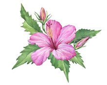 Bright Pink Hibiscus Flower (also Known As Rose Of Althea Or Sharon, Rose Mallow) Watercolor Hand Drawn Painting Illustration Isolated On A White Background.
