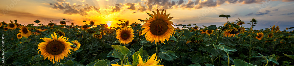 Obraz Summer landscape: beauty sunset over sunflowers field. Panoramic views fototapeta, plakat