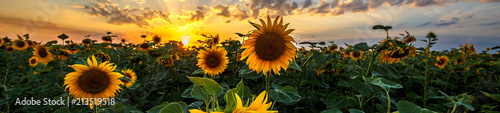 Obraz Summer landscape: beauty sunset over sunflowers field. Panoramic views - fototapety do salonu
