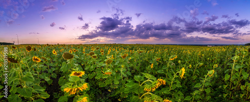 Fotomurales - Summer landscape: beauty sunset over sunflowers field. Panoramic views