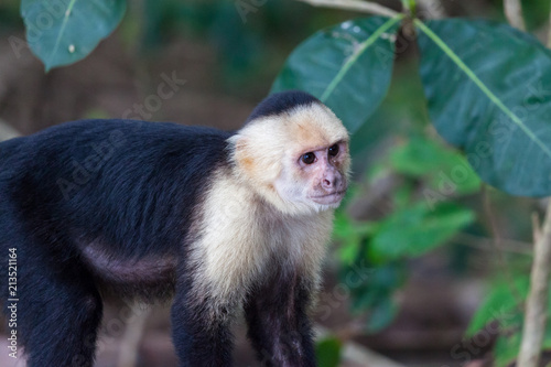 Fotografering  white faced or capuchin monkey