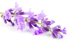 Twig Of Lavender Isolated On A...