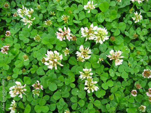 Trifolium repens or  white clover plant
