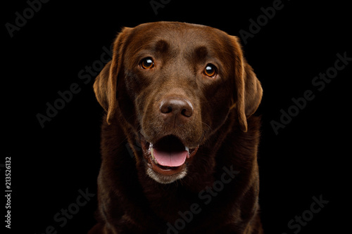 Funny Portrait of Amazement Labrador retriever dog Smiling looking in camera on Wallpaper Mural