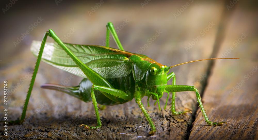 Fotografie, Obraz macro close up big green locust grasshopper on wooden table
