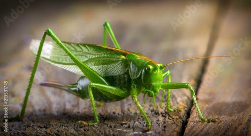 Obraz na plátne macro close up big green locust grasshopper on wooden table