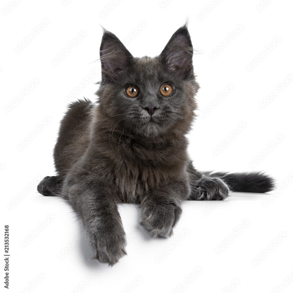Fototapety, obrazy: Adorable solid blue Maine Coon cat kitten laying down facing front with paws hanging over edge and looking straight at camera, isolated on white background