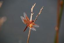 Flame Skimmer Dragonfly 4