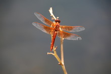 Flame Skimmer Dragonfly 5
