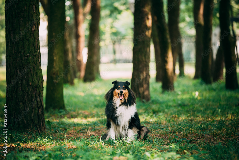 Fototapeta Rough Collie, Scottish Collie, Long-Haired Collie, English Collie