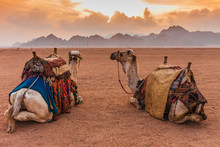 Two Camels Are In The Sinai De...