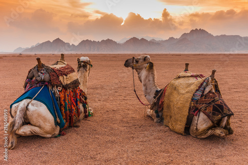 Photo Stands Egypt Two camels are in the Sinai Desert, Sharm el Sheikh, Sinai Peninsula, Egypt. Orange beautiful sunset above mountains