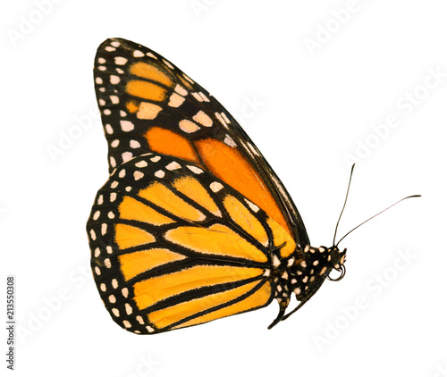Obraz na plátně  An orange-colored monarch butterfly, Danaus plexippus, is sitting with wings closed