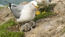 Seagulls Feeding Chicks. Family Of Seagulls Feeding Fish To Their Chicks