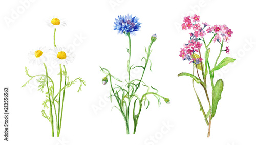 Foto  watercolor illustration of wildflowers, chamomile and cornflower, delicate isola