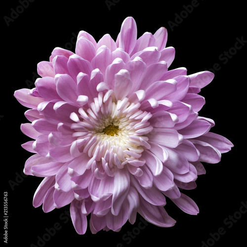 Poster de jardin Dahlia one isolated pink flower chrysanthemum on black background