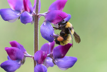 Sonoran Bumblebee Collecting P...