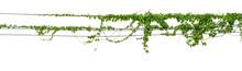Plants Ivy. Vines On Poles On ...