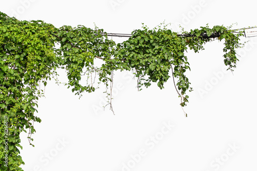 Tablou Canvas Plants ivy. Vines on poles on white background
