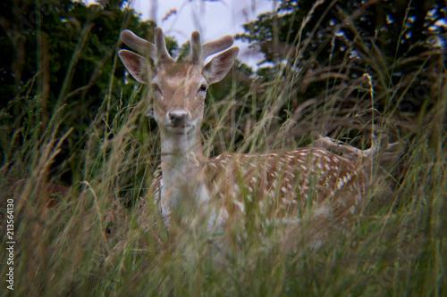 Spoed Foto op Canvas Hert Deer in the Grass