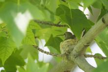 Humming Bird Mom On Nest
