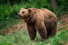 Kamchatka Brown Bear (Ursus Ar...