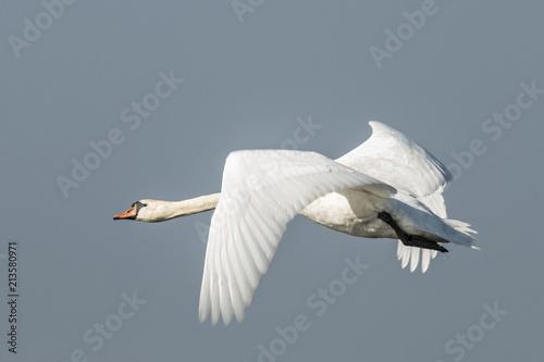 Swan, Cygnini