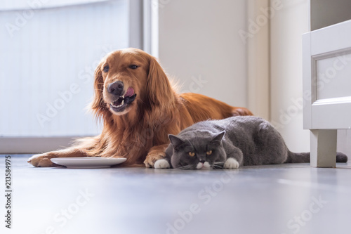 Golden Retriever Lying And The British Short Hair Cat Buy This Stock Photo And Explore Similar Images At Adobe Stock Adobe Stock