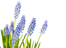 Flower Plant Muscari On A Colo...