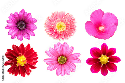 Poster de jardin Dahlia collection pink flower isolated on white background