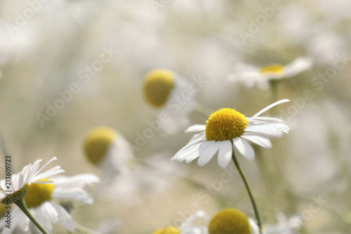Foto op Canvas Madeliefjes close on white daisy blossom in meaadow