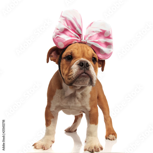 Photo  english bulldog with pink ribbon headband looks to side