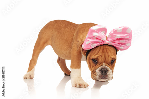 Photo  side view of english bulldog dressed as minnie mouse