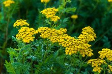 Flowering Yellow Tansy In The Garden