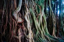 Old Banyan Tree Leaves Vivid I...