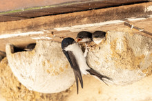 Young Swallows Are Fed In The Nest