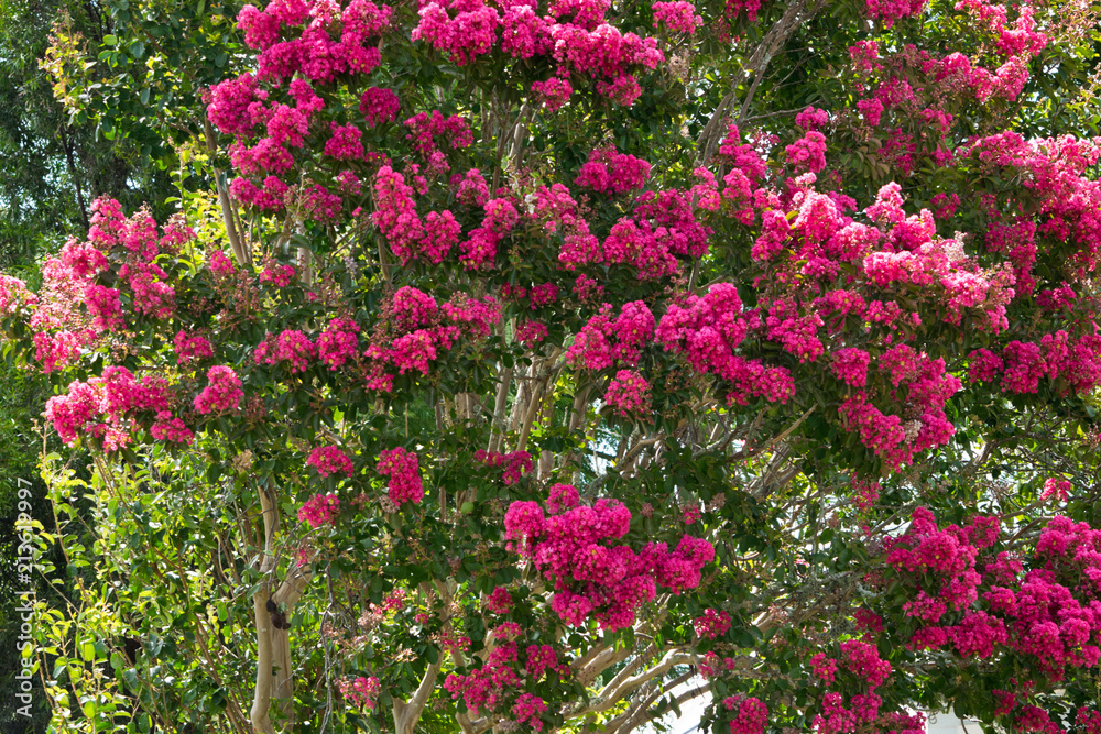 Detail of  crepe myrtle in blossom. Australia.