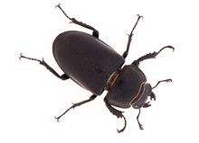 Lesser Stag Beetle, Dorcus Parallelipipedus On White Background