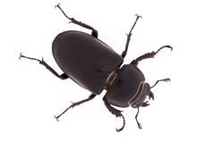 Lesser Stag Beetle, Dorcus Par...