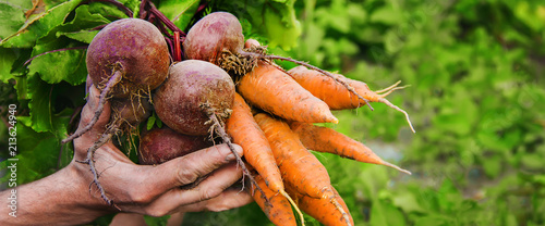 Obraz na plátně  organic home vegetables carrots and beets in the hands of men