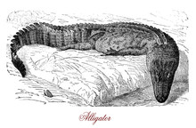 Vintage Engraving Of American Alligator, Reptile Predator Living In Tropical Environment, In Marsh, Ponds And Rivers